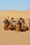 Camels resting in desert Royalty Free Stock Photo