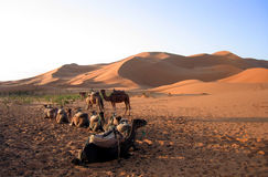 Camels resting in the desert. Caravan of camels resting in Sahara desert Royalty Free Stock Photos
