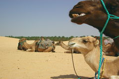 Camels resting in desert Royalty Free Stock Images