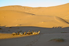Camels resting at Erg Chebbi, Morocco Stock Image