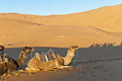 Camels resting at Erg Chebbi, Morocco Stock Photos