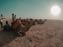 Camels resting royalty free stock photography