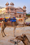 Camels resting near Man Sagar Lake in Jaipur, India. Royalty Free Stock Photography