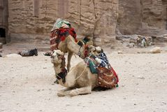 Camels resting near the rocks Royalty Free Stock Photo