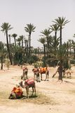 Camels resting next to palm trees in Marrakech, Morocco stock photography