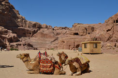 Camels resting. In Petra, Jordan Royalty Free Stock Images