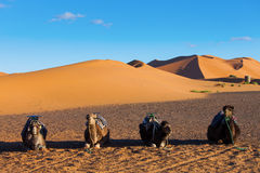 Camels resting in Sahara Desert in Morocco Stock Photos