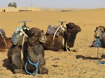 Camels resting in the sun at Sahara Desert`s Entrance stock photos