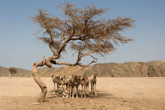 Camels resting under the acacia tree Stock Photos