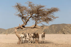 Camels resting under the acacia tree Stock Photo
