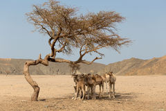 Camels resting under the acacia tree Royalty Free Stock Image
