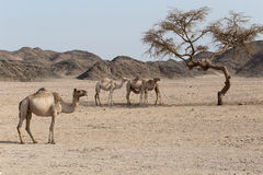 Camels resting under the acacia tree Stock Images
