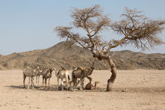Camels resting under the acacia tree Royalty Free Stock Photography