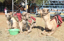 Camels resting used for joyrides at Festival Royalty Free Stock Image