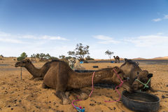 Camels restoring. A bounch of camels while drinking and eating after a ride in the desert Royalty Free Stock Photography