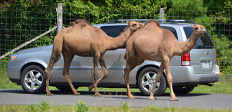 Camels ride around cars Royalty Free Stock Photography