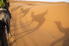 Camels ride in the desert Stock Photo