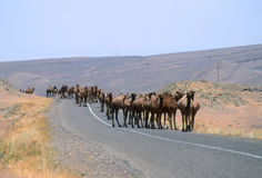 Camels on the Road Stock Image