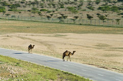 Camels on the road  in Oman Royalty Free Stock Image