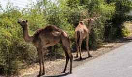 Camels on the road to Gheralta in Tigray, Northern Ethiopia. stock images