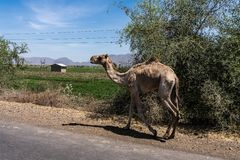 Camels on the road to Gheralta in Tigray, Northern Ethiopia. royalty free stock photography