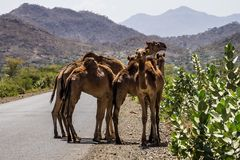 Camels on the road to Gheralta in Tigray, Northern Ethiopia. stock photo