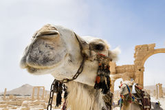 Camels in the roman ruins of Palmyra, Syria. Close-up of a camel during a hot-summer day in the desert royalty free stock photo
