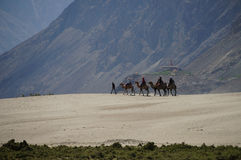 Camels rover on sand dune, nubra valley, India Royalty Free Stock Photos
