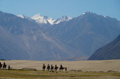Camels rover on sand dune, nubra valley,  India Stock Images