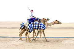 Camels in Rub al Khali Desert at the Empty Quarter, in Abu Dhabi Royalty Free Stock Photography