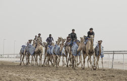 Camels in Rub al Khali Desert at the Empty Quarter, in Abu Dhabi. Rub al Khali Desert, Abu Dhabi, United Arab Emirates, July 22nd, 2017: men training camels at a Royalty Free Stock Image
