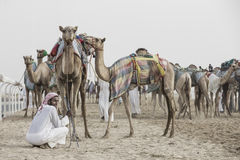 Camels in Rub al Khali Desert at the Empty Quarter, in Abu Dhabi. Rub al Khali Desert, Abu Dhabi, United Arab Emirates, July 22nd, 2017: men training camels at a Royalty Free Stock Photography