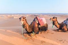 Camels with saddle on the back lying on a sand dune in the Sahara desert, Merzouga, Morocco. stock image