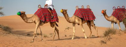 Camels safari in the sand dunes during tourists desert rides in Dubai, UAE. Camels safari in the sand dunes during tourists desert rides in Dubai, United Arab royalty free stock photography