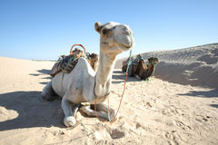 Camels in Sahar. Douz, Kebili, Tunisia - September 17, 2012 : Beduins leading tourists on camels at the Sahara desert. Camels are resting during break time on Royalty Free Stock Photo