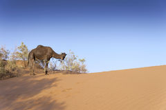 Camels in the Sahara Stock Image