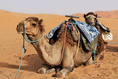 Camels in Sahara desert. Stock Photo