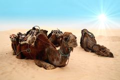 Camels in sahara desert Stock Photos