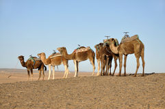 Camels in the Sahara desert, Stock Image