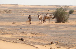 Camels in the Sahara desert. Africa. Camels in the Sahara desert. Landscape nature Royalty Free Stock Images