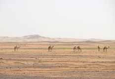 Camels in the Sahara desert. Stock Photos