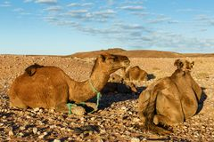 Camels in the Sahara desert stock photography