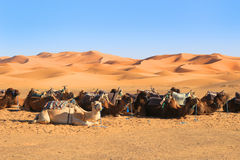 Camels in the Sahara desert Royalty Free Stock Photo