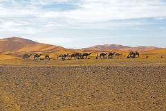 Camels in Sahara Desert in Morocco Royalty Free Stock Image
