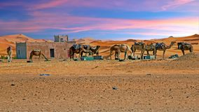 Camels in the Sahara desert from Morocco Africa Stock Photo