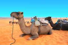 Camels in Sahara desert, Morocco. Two camels dromedary resting lying on the sand. On blue sky background royalty free stock photography