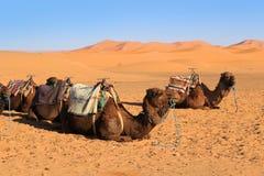 Camels in the Sahara desert Stock Photos