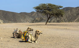 Camel. S in the Sahara desert with a riding saddle, Egypt stock photos