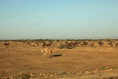 Camels in Sahara desert Stock Photography