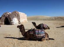 Camels in Sahara desert Stock Image